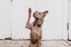 cute dog with its paw in the air